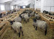 Кубанские овцеводы завоевали на всероссийской выставке пять наград
