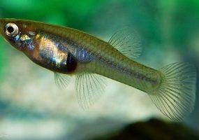 В Сочи экологи бесплатно раздадут желающим рыбу-гамбузию