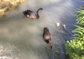 В Сочи у пары австралийских черных лебедей родились птенцы