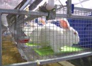 В Щербиновском районе открылась кролиководческая ферма на 560 голов