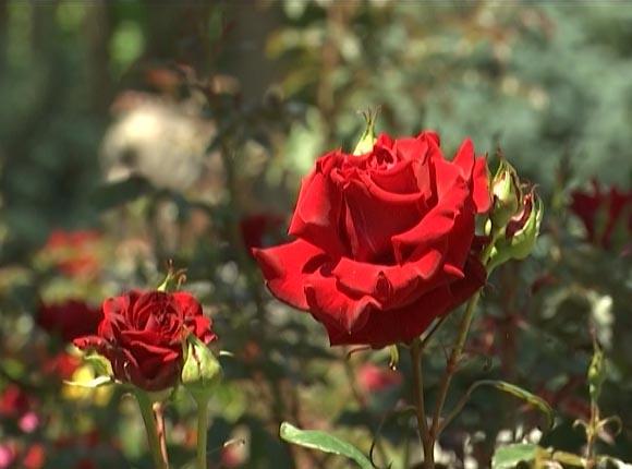 В Сочи наступил сезон цветения роз