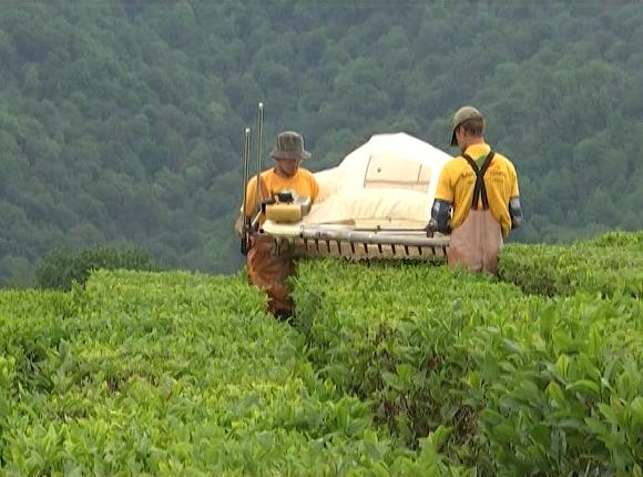 В Сочи собрали первый урожай чая