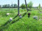 В Ейском районе десятилетняя коза родила потомство