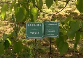 В Сочи зацвело дерево тунг, его плоды опасны для жизни