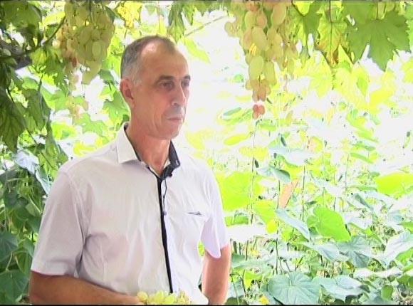 У жителя Усть-Лабинска созрел виноград с ягодами до 4 см в диаметре