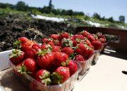 На Кубани уже собрали около 450 тонн плодов и ягод