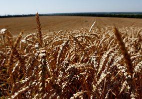 На Кубани уберут пшеницу с площади 1,5 млн га