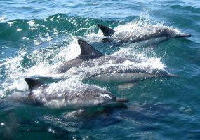 В Сочи ученые посчитают черноморских дельфинов
