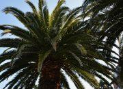 Жителей Сочи попросили помочь в борьбе с пальмовыми вредителями