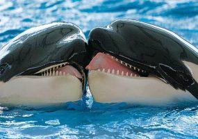 Мимими с зубами: целующиеся языками косатки попали на видео
