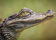 В России могут запретить заводить дома крокодилов, тарантулов и акул
