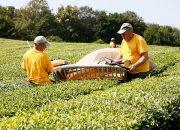 На Кубани произвели 2,5 тыс. тонн чая