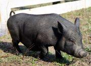 В Павловском районе построят свиноводческий комплекс на 2,4 тыс. голов