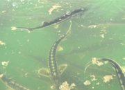 На реке Кубань выпустили молодых особей редких осетровых пород рыбы