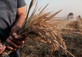 Специалисты предсказали истощение запасов риса-сырца на Кубани к августу