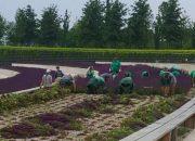 В парке «Краснодар» начали уборку шалфея