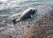 Сочинские активисты зафиксировали с начала года 167 случаев гибели дельфинов