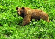 Научные сотрудники встретили в Кавказском заповеднике медведя без уха
