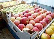 На Кубани собрали более 18 тыс. т фруктов