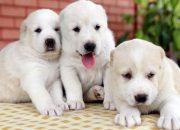 В Тихорецком районе мужчина украл трех щенков алабая