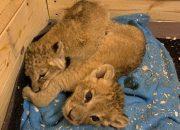 В Анапе у фотографов изъяли второго львенка