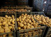 Роспатент зарегистрировал «Кубанский ранний картофель»