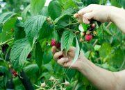 В Краснодарском крае урожай плодово-ягодных культур превысил 3,5 тыс. тонн