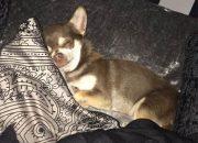 Похищение собаки: чайка похитила чихуахуа у хозяйки
