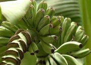 В Краснодаре зацвело банановое дерево