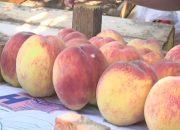На Кубани начался сбор персиков