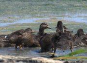 Кущевские егери выпустили в дикую природу уток из инкубатора
