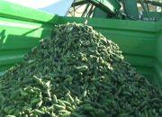 В Белореченском районе начался сезонный запас овощей на зиму