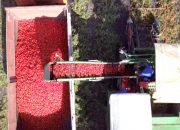 С начала года на Кубани собрали около 170 тыс. тонн овощей