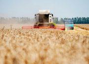 На Кубани уберут 1,5 млн га озимой пшеницы