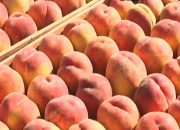 В Темрюкском районе начался сбор персиков