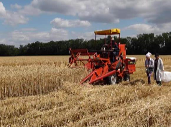 На Кубани убрали половину озимой пшеницы