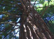 В Сочи проведут диспансеризацию деревьев-патриархов