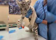 Изъятым у жителя Узбекистана леопардам и тигру найдут новый дом