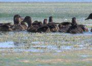 Кущевские егери выпустили в охотничьи угодья района 100 диких уток