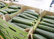 На Кубани с начала года собрали около 170 тыс. тонн овощей