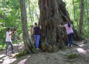В Сочи измерили самый большой и древний тополь в мире