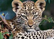 В полиции опровергли информацию о сбежавшем в Новороссийске леопарде