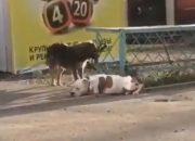 В Новороссийске бездомный пес отвязал от забора породистую собаку. Видео