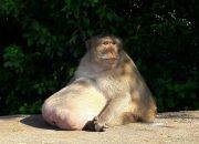 Самая толстая в мире макака не захотела худеть и сбежала