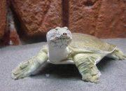 В Краснодаре суд закрыл сайт с объявлением о продаже дальневосточных черепах
