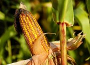 В крахе цивилизации майя обвинили кукурузу