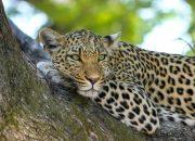 В Кавказском заповеднике к выпуску пяти леопардов установят 180 фотоловушек