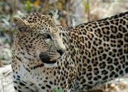 СМИ: в Новороссийске леопард забрался в курятник, его застрелили