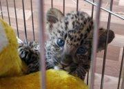 В аэропорту Краснодара задержали контрабандиста, леопардов и тигренка