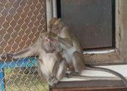 В Сочи незаконно ставили опыты на 300 обезьянах из Вьетнама